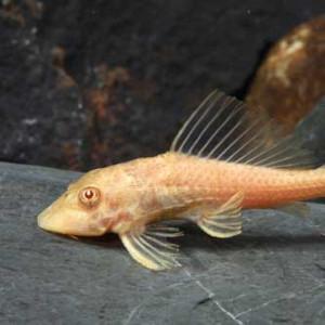 Albino Sucker Cat Fish