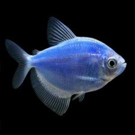 Blue Widow Tetra Fish