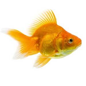 Gold Fish - M