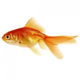 Gold Fish - S