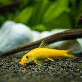 Golden Algae Eater Fish