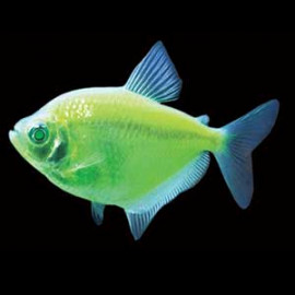 Green Widow Tetra Fish