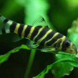 Queen Loach Fish