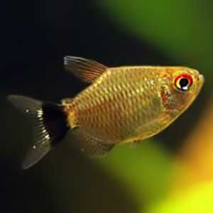 Red Eye Ballon Tetra Fish