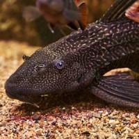 Sucker Cat Fish Black