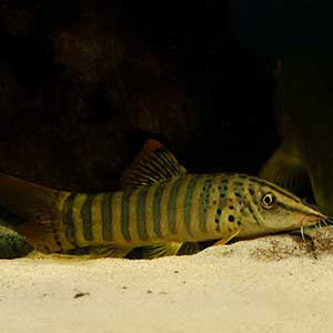 Tiger Loach Fish