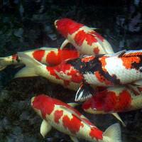 White and Red Koi Carp Fish