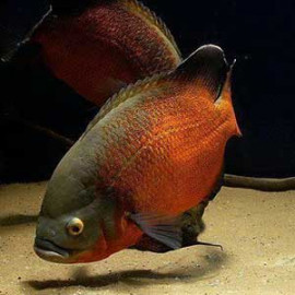 Copper Oscar Fish