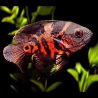 Tiger Oscar Fish Baby