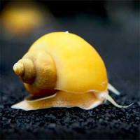Golden Yellow Snail