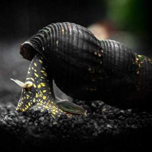 Golden Spotted Rabbit Snail