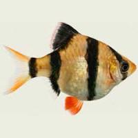 Ballon Tiger Barb Fish