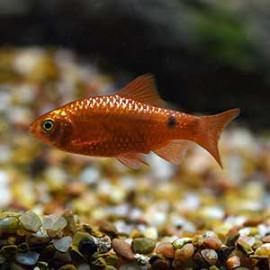 Rosy Barb Fish
