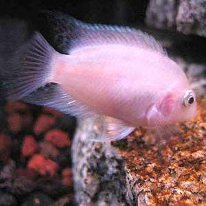 Albino Convict Cichild Fish