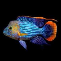 Electric Green Akara Fish