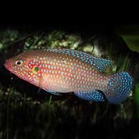 Jewel Cichild Fish
