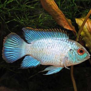 Neon Akara Fish
