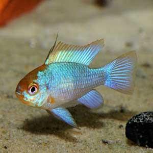 Neon Ram Fish