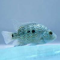 Texas Cichild Fish