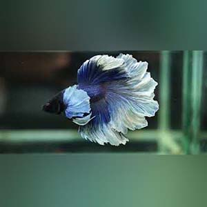 Blue/Red Butterfly Rosetail Halfmoon Betta Fish