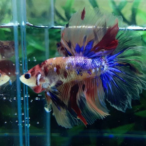Nemo Candy Galaxy Betta Fish