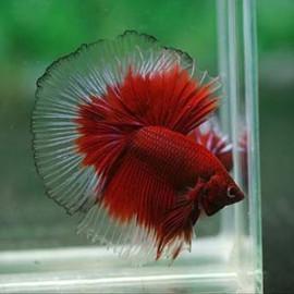 3 BAND RED HALFMOON Betta Fish by www.aquastore.in