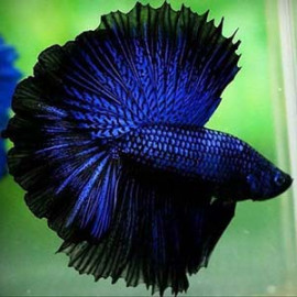 BLUE DRAGON HALFMOON by www.aquastore.in
