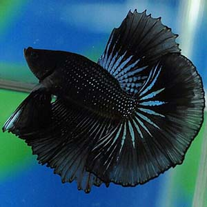 Blue Light Black Butterfly Halfmoon Betta Fish