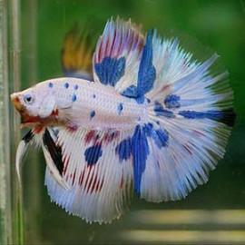 BLUE MARBLE HALFMOON by www.aquastore.in