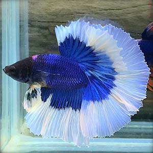 Blue Metallic Butterfly Rosetail Halfmoon Betta Fish