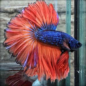 Blue Orange Rosetail Halfmoon Betta Fish