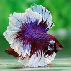 FANCY MARBLE ROSETAIL HALFMOON by www.aquastore.in