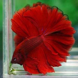 Full Red/Super Red Rosetail Halfmoon by www.aquastore.in