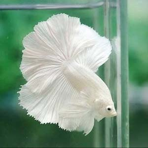 Milky White Halfmoon by www.aquastore.in