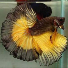 Mustard Gas Breeding Pair by www.aquastore.in