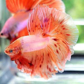 PEACH ARMAGGEDON HALFMOON by www.aquastore.in