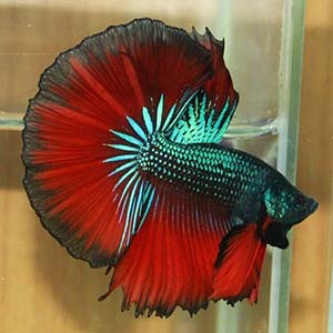 Red Devil Butterfly Halfmoon Betta Fish