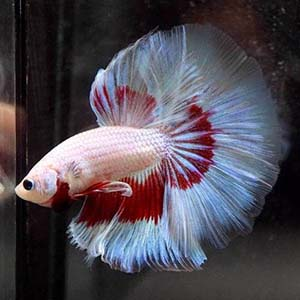 Red Whte Dragon Butterfly Halfmoon Betta Fish