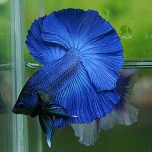 Royal Blue Breeding Pair Betta Fish