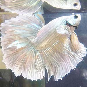silver Halfmoon by www.aquastore.in