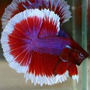 Super Red Galaxy Butterfly Halfmoon Betta Fish