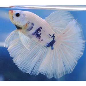 White Marble Halfmoon Betta Fish