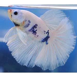 WHITE MARBLE HALFMOON by www.aquastore.in