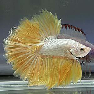 Yellow Gold Dragon Halfmoon Betta Fish