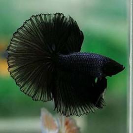 Black Cop Halfmoon by www.aquastore.in