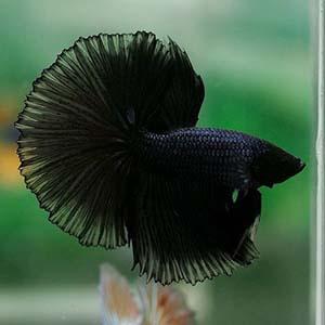Black Cop Halfmoon Betta Fish