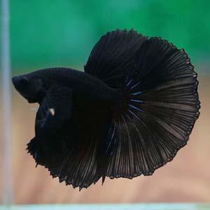 Full Black Halfmoon Betta Fish