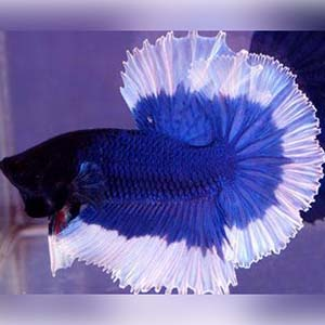 Blue Butterfly Breeding Pair Betta Fish