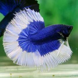Blue BF Halfmoon by www.aquastore.in