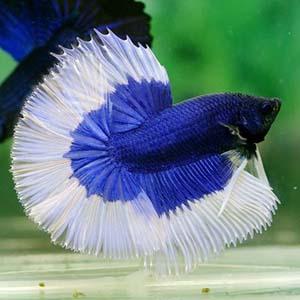 Blue Bf Halfmoon Betta Fish